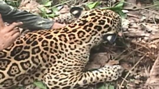 Fantástico mostra como age um dos maiores grupos de caçadores de onça-pintada do Brasil