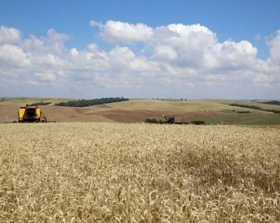 Preço elevado deve estimular plantio de trigo neste ano