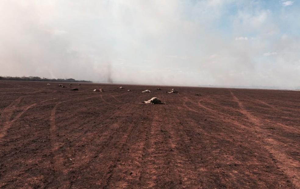 Pelo menos 30 cabeças de gado morreram devido às chamas (Foto: Divulgação)