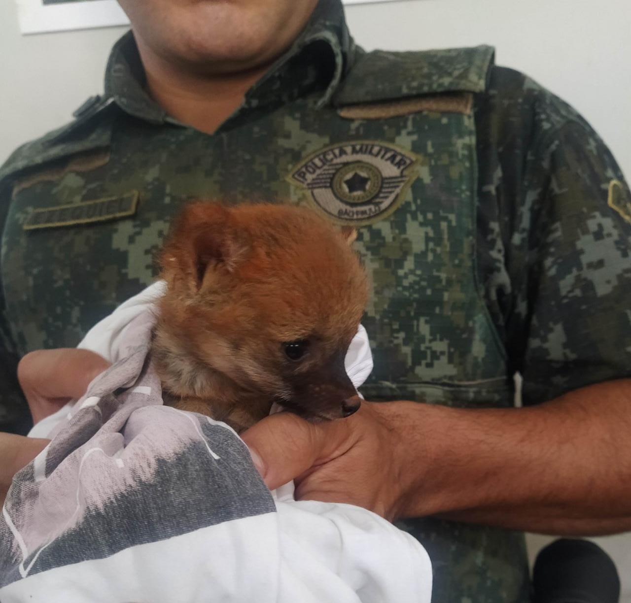 Polícia Ambiental resgata filhote de lobo-guará às margens de rodovia no interior de SP