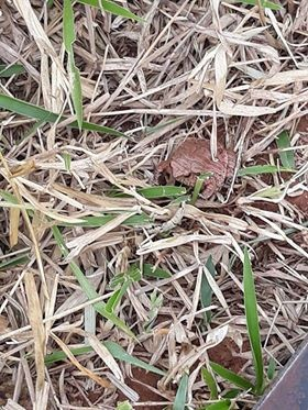 Ceratophrys ornata - sapo de chifre (Foto: Rafael Borges/Arquivo Pessoal)