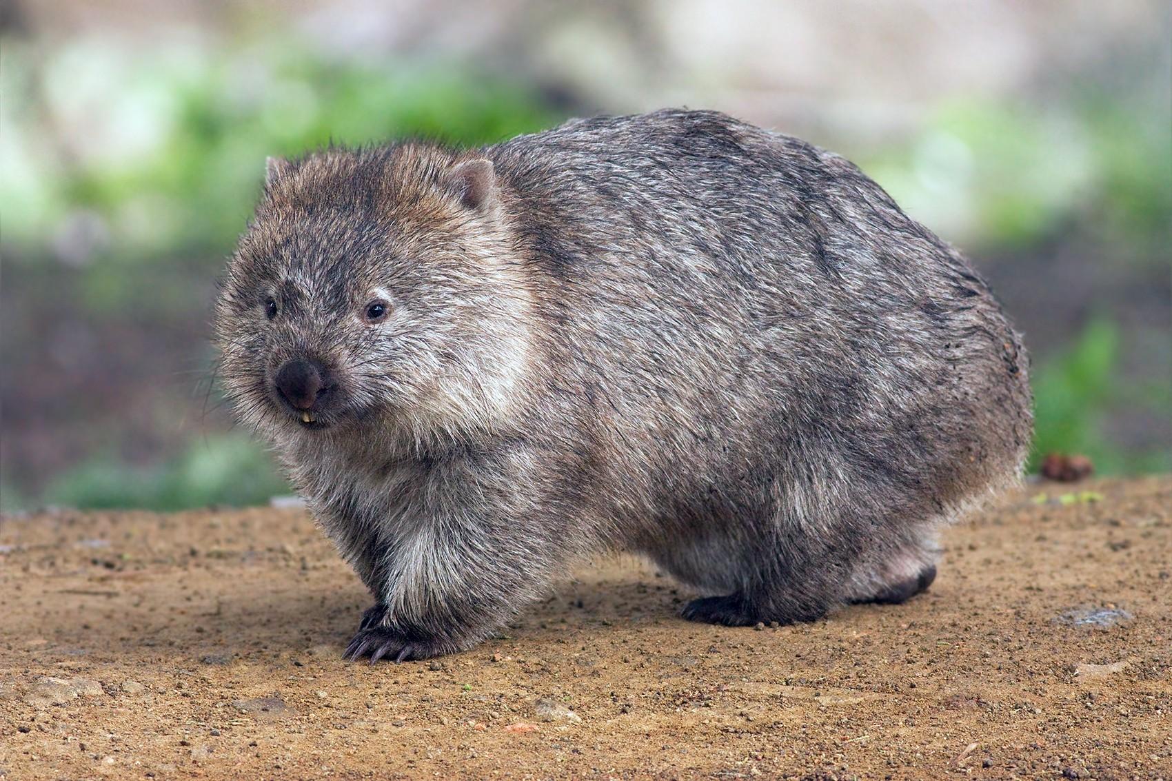 Cientistas descobriram o motivo pelo qual o Vombate faz cocô quadrado (Foto: Wikimedia Commons / JJ Harrison)