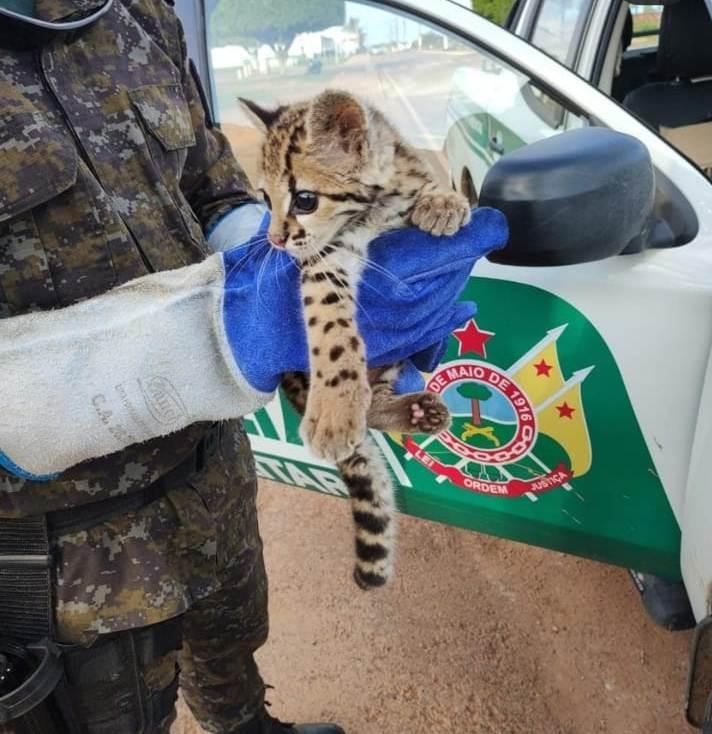 Filhote de jaguatirica que era alimentado por morador é resgatado no interior do Acre