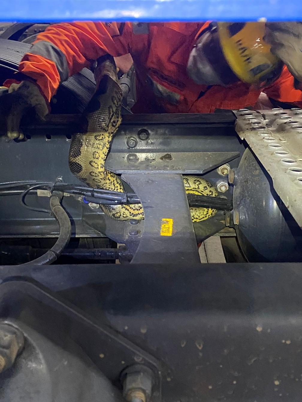 Cobra foi capturada pelo Corpo de Bombeiros de Salinas — Foto: Corpo de Bombeiros/Divulgação