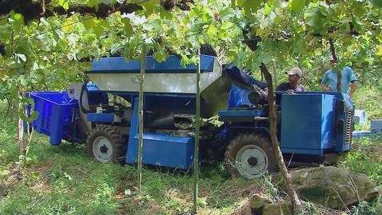 Tecnologia agiliza colheita da uva na região da Serra do Rio Grande do Sul