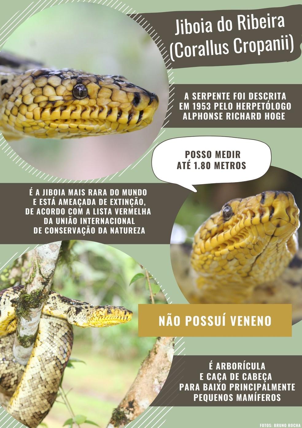 Características das jiboias do ribeira (Corallus cropanii). — Foto: Arte TG