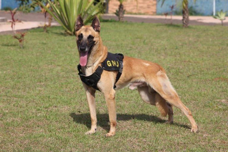 Morre cão que ajudou a apreender 9 toneladas de drogas e entrou para o livro brasileiro de recordes