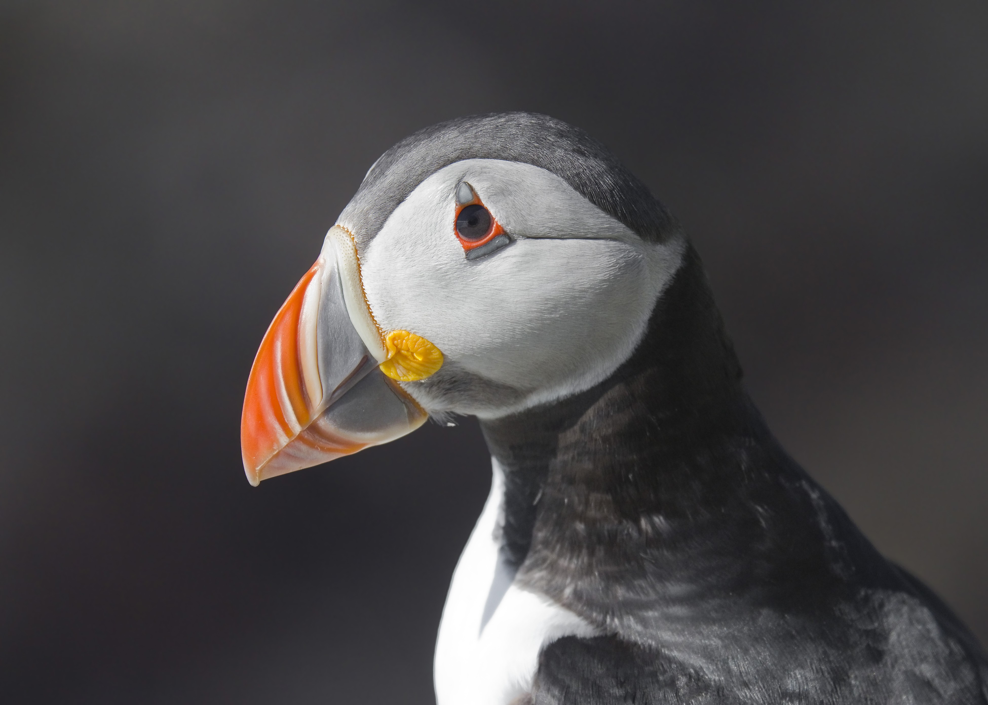 Puffin (Foto: Wikimedia Commons)