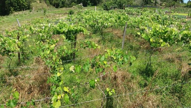 gr-responde-videira-uva-antracnose (Foto: Fagner Subtil/ Arquivo Pessoal)