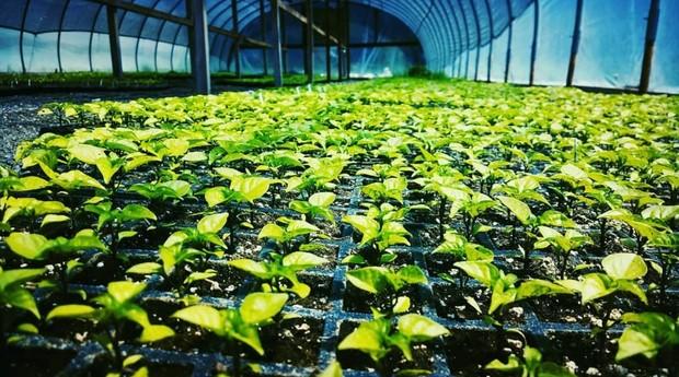 plantação de pimenta  (Foto: Reprodução/Instagram)