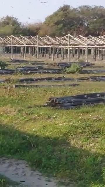 gafanhotos-voam-em-propriedade-argentina (Foto: CRA-Corrientes/Divulgação)
