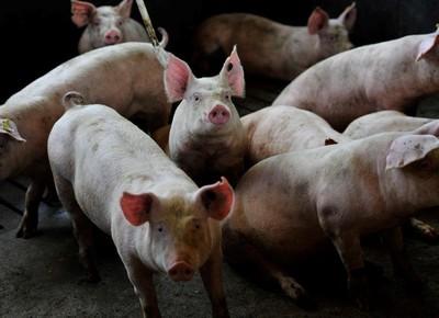 porco-suínos-aurora (Foto: Ernesto de Souza/Ed.Globo)