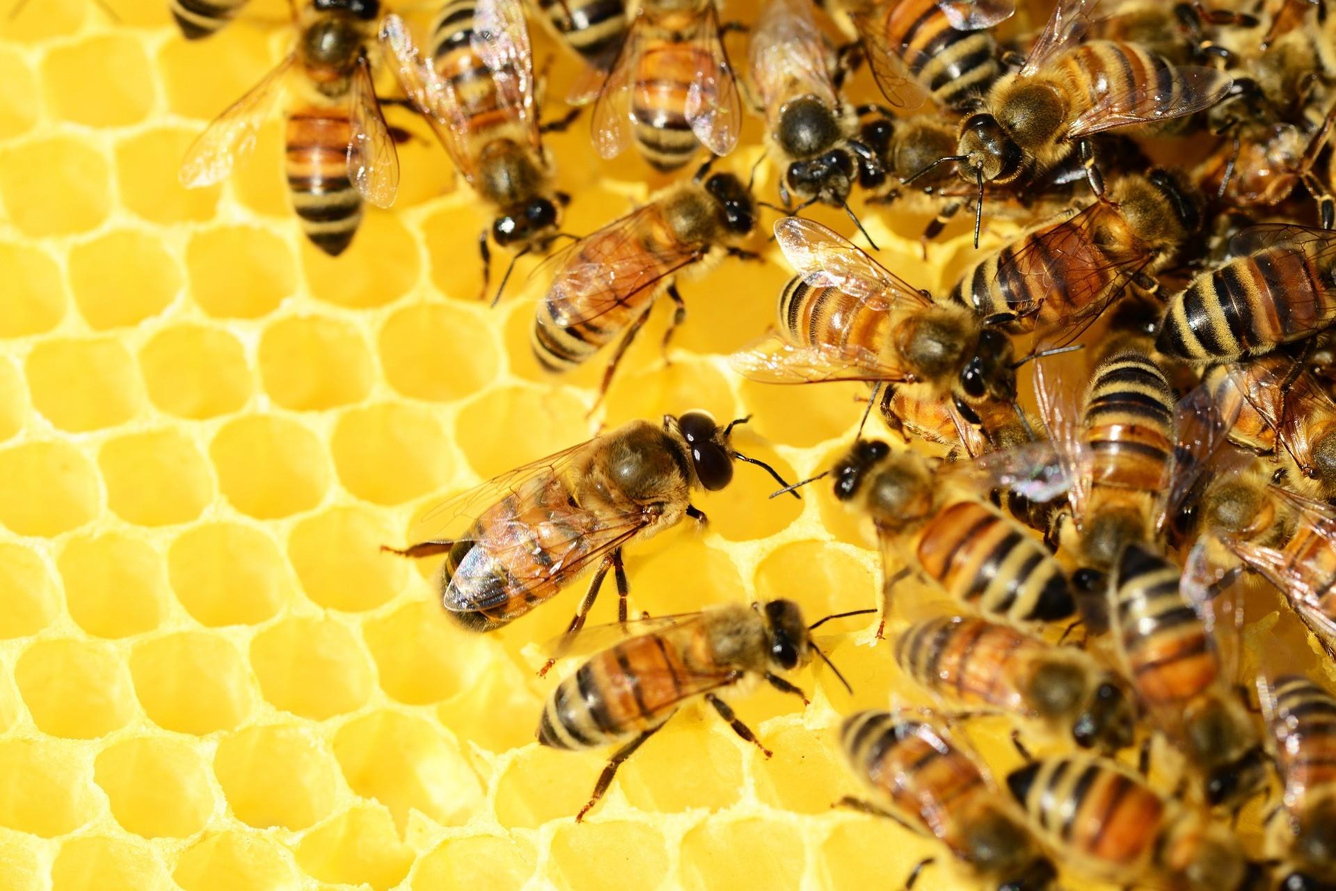 Abelhas produtoras de mel (Foto: Pixabay)