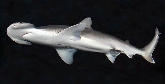 Tubarão-de-pala (Sphyrna tiburo) (Foto: D Ross Robertson/Wikimedia Commons)