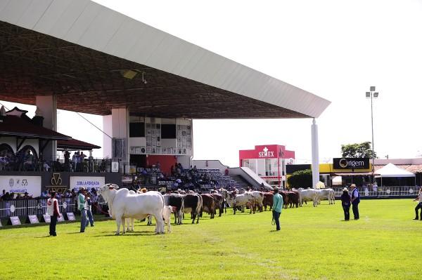 Leilão durante a Expozebu 2019 (Foto: Divulgação/ABCZ)