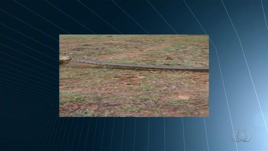 Sucuri de 7 metros e 180 kg é capturada em fazenda de Caçu, GO; vídeo