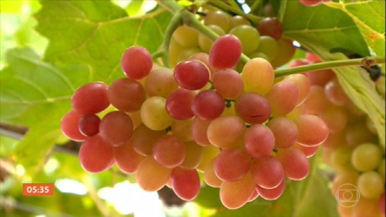 Embrapa produz variedade de uva com sabor completamente diferente