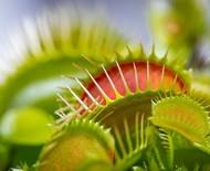 Armadilha de Vênus: saiba mais sobre a planta carnívora