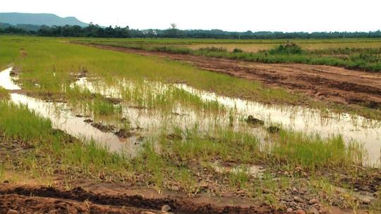 Cultivo do arroz tem prejuízos com as cheias que atingiram o RS