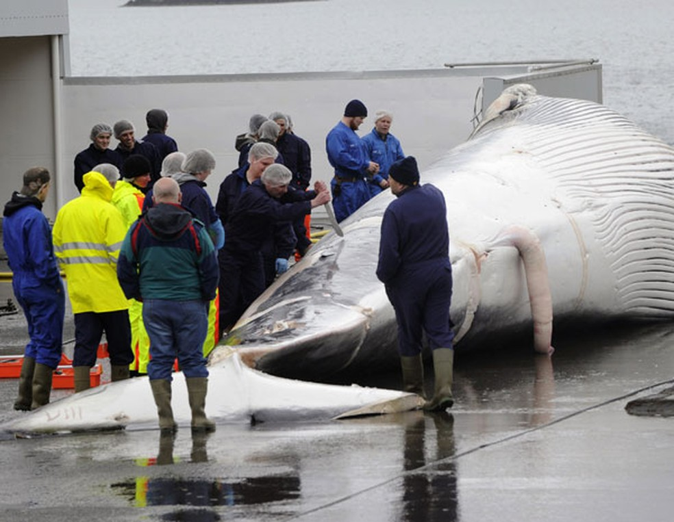 A temporada de caça às baleias na Islândia, em junho de 2013 (Foto: Sigtryggur Johannsson/ Reuters)
