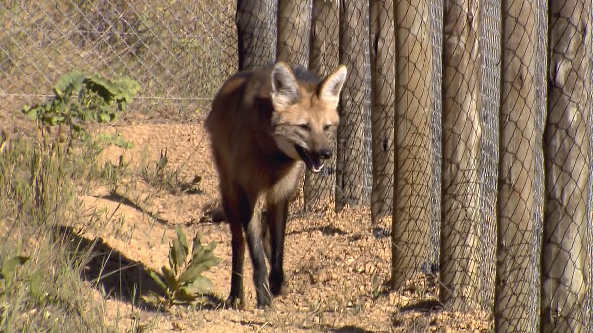 Lobos-guarás encontram abrigo e proteção na Serra da Canastra