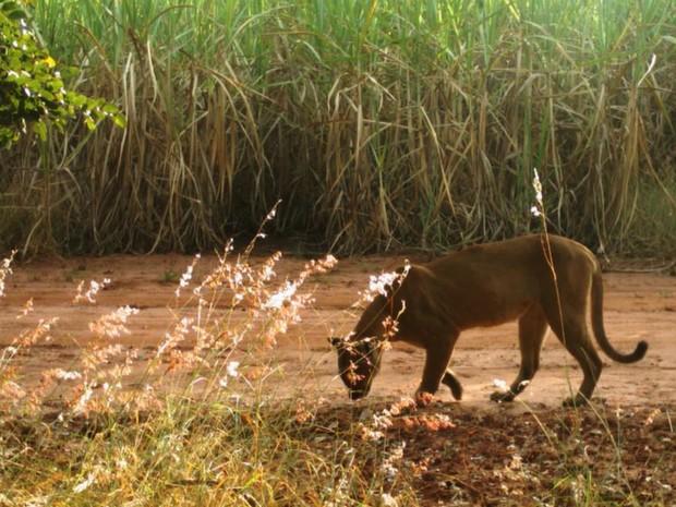 Onça parda é fotografada durante pesquisa da USP de Ribeirão Preto (Foto: Reprodução/Projeto ocupação da paisagem do nordeste de São Paulo)