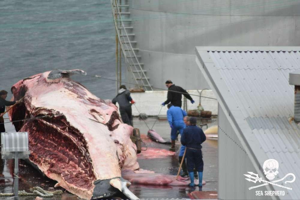 Baleia foi morta grávida e caçadores arrastam o feto com corda (Foto: Sea Sheperd)