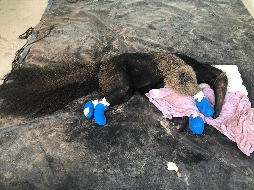Tamanduá é resgatado em meio a incêndio no Pantanal e atendido em posto de resgate em MT