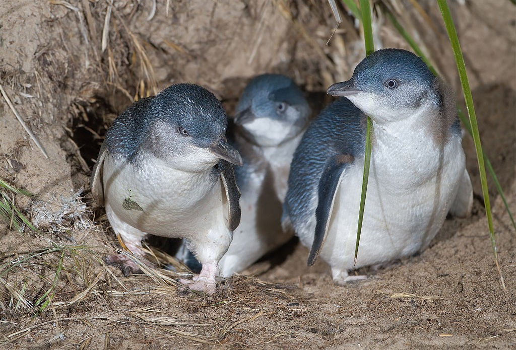 6 mil pinguins-azuis desapareceram da Ilha Maria, na Austrália, após reintrodução de diabos-da-tasmânia (Foto: JJ Harrison/Wikimedia Commons)