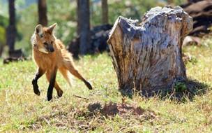 Conservação do lobo guará ajuda produtores rurais