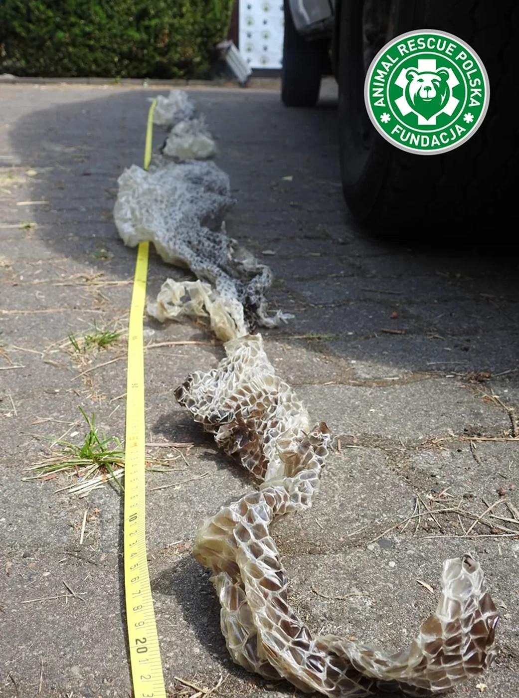 Pele da cobra à solta (Foto: Resgate Animal da Polônia)