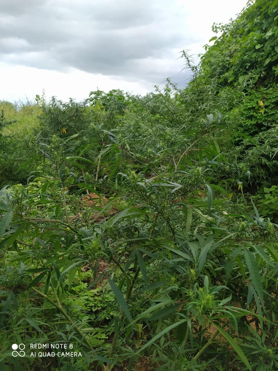 Polícia destrói plantação de maconha na Ilha de Assunção, em Cabrobó