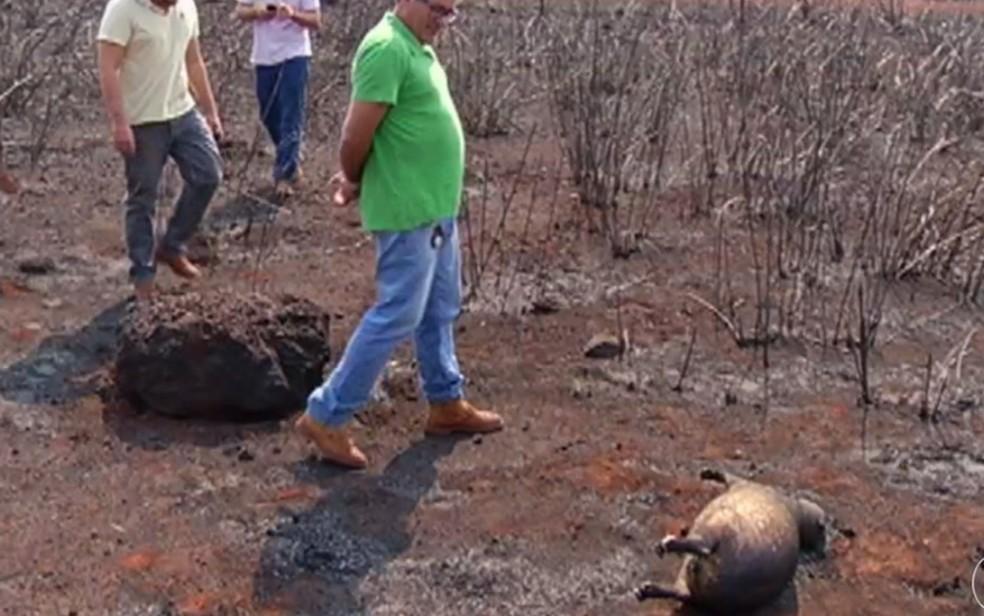 Capivara morreu tentando escapar de queimada em Santa Helena — Foto: Reprodução/TV Anhanguera