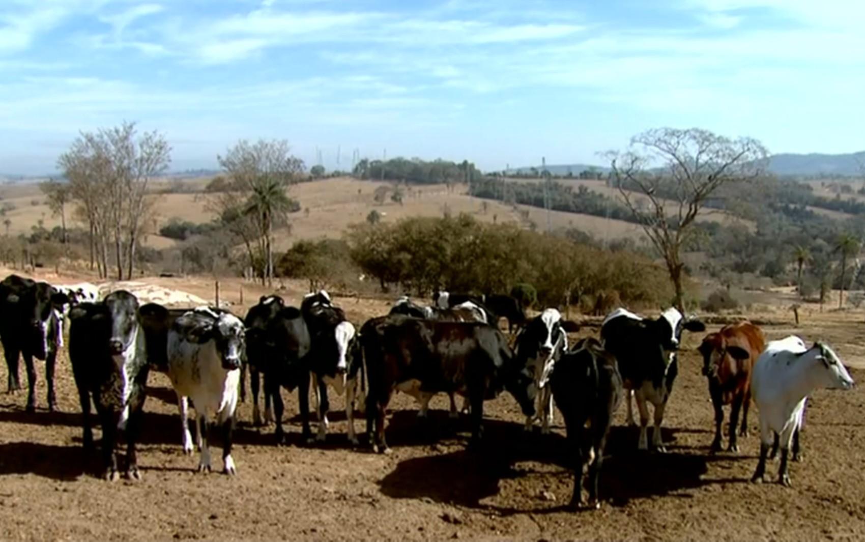 Geada diminui oferta de alimento para gado e causa queda na produção do leite no Sul de Minas