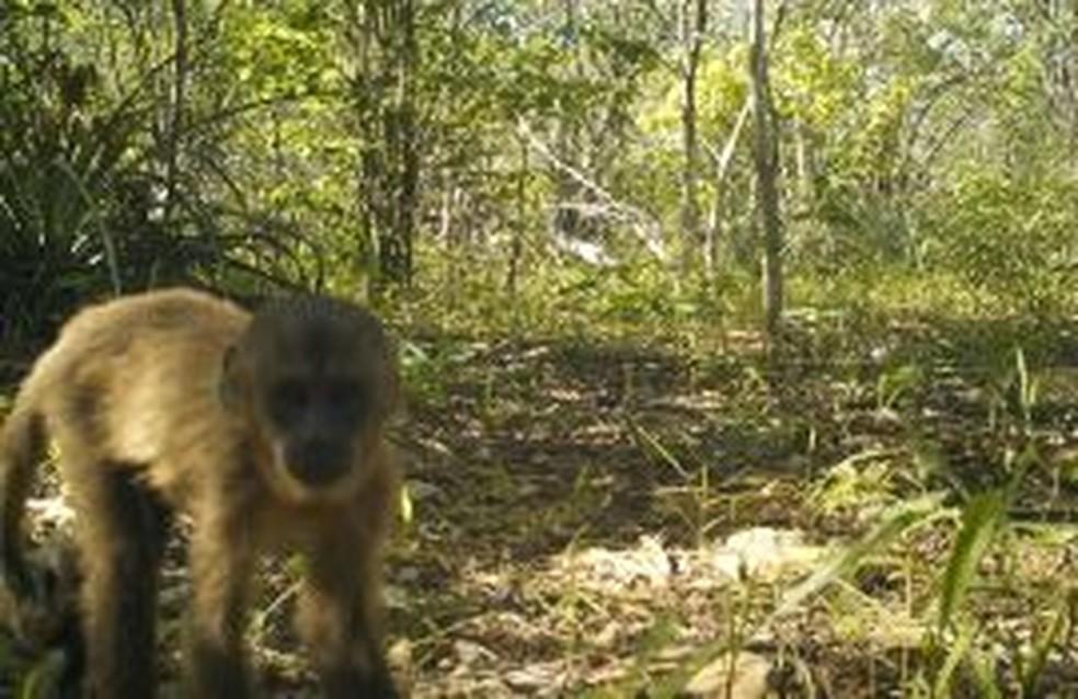Macaco-prego percebe a câmera e fica curioso: biodiversidade valiosa na caatinga — Foto: Divulgação/Projeto Felinos da Furna Feia