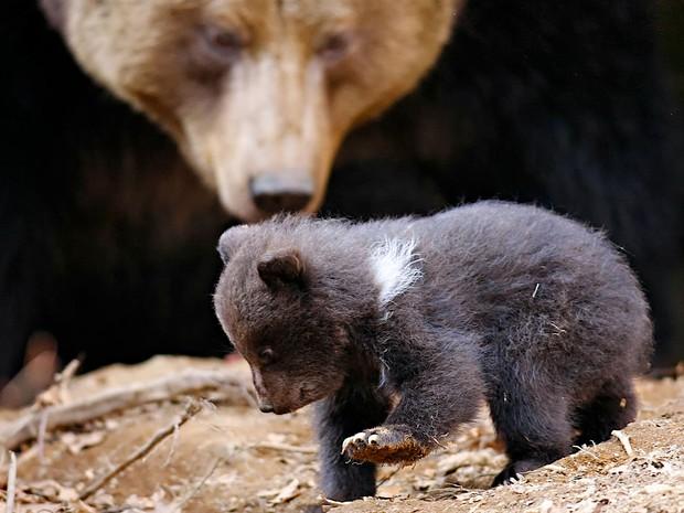 Filhote de urso nasceu no Parque Nacional da Floresta da Bavária, na Alemanha (Fot Frank Bietau/AP)