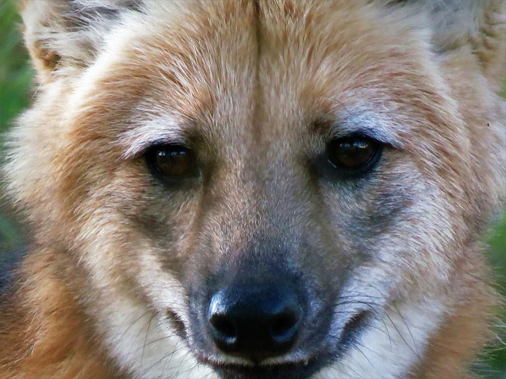 """""""Máscara negra"""" da face do lobo-guará é um dos elementos utilizados para distinguir os indivíduos  — Foto: Thiago Mesquita/VC no TG"""