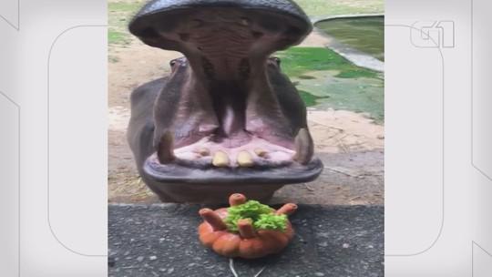 Hipopótamo ganha 'bolo' em bosque de Campinas como homenagem à espécie; vídeo