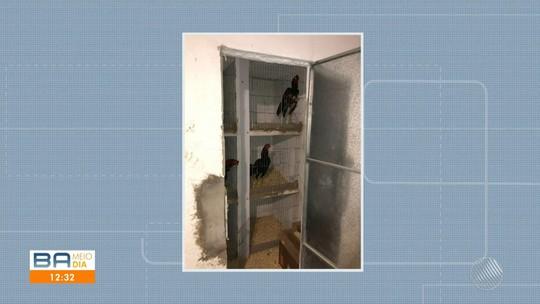 Rinha de galo é desmontada e 184 animais vítimas de maus-tratos são resgatados na Bahia