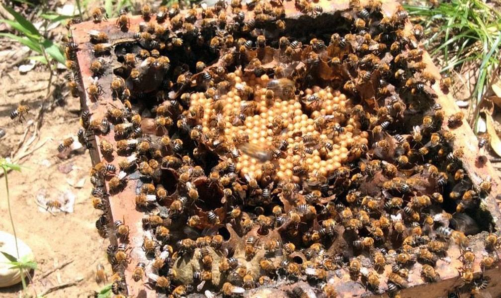 Melgueira repleta de abelhas em meliponário que fica na Costa do Sauípe — Foto: Meliponário Costa do Sauípe/ Divulgação