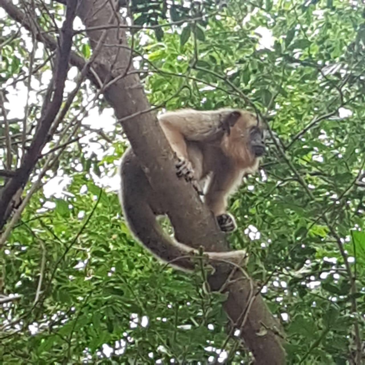 Presença de bugios na área urbana de Presidente Venceslau atrai curiosos, mas biólogo alerta para riscos da interação humana com os animais: 'Isso está errado!'