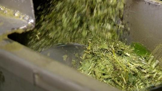 Com erva-mate na base da economia, produtores de Ilópolis investem em plantio orgânico