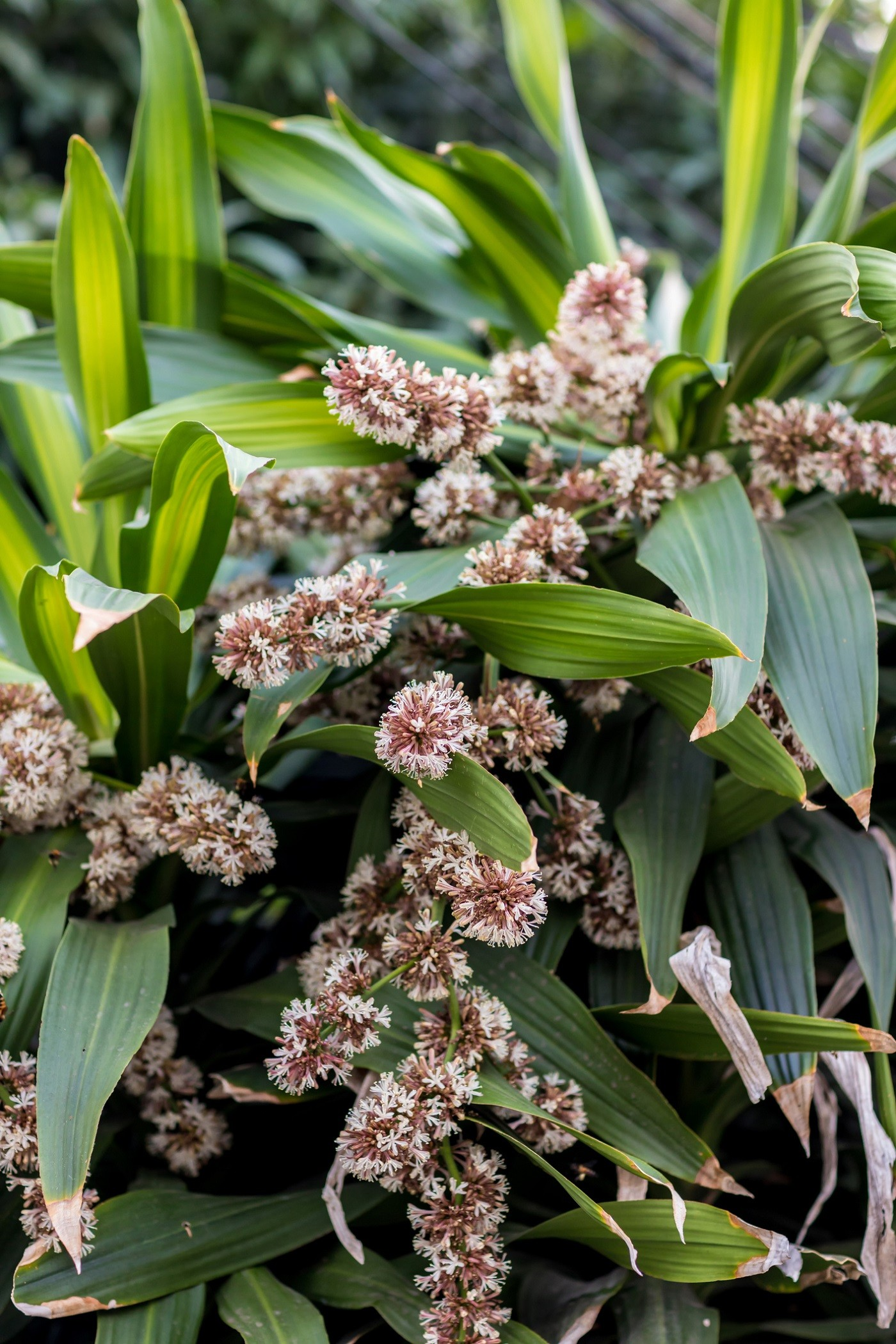 Bouquet of Queen of Dracaenas flower (Dracaena goldieana) with blurred green leaves background. Dracaena fragrans is a small to medium-sized perennial with beautiful leaves at the time of flowering. (Foto: Getty Images/iStockphoto)