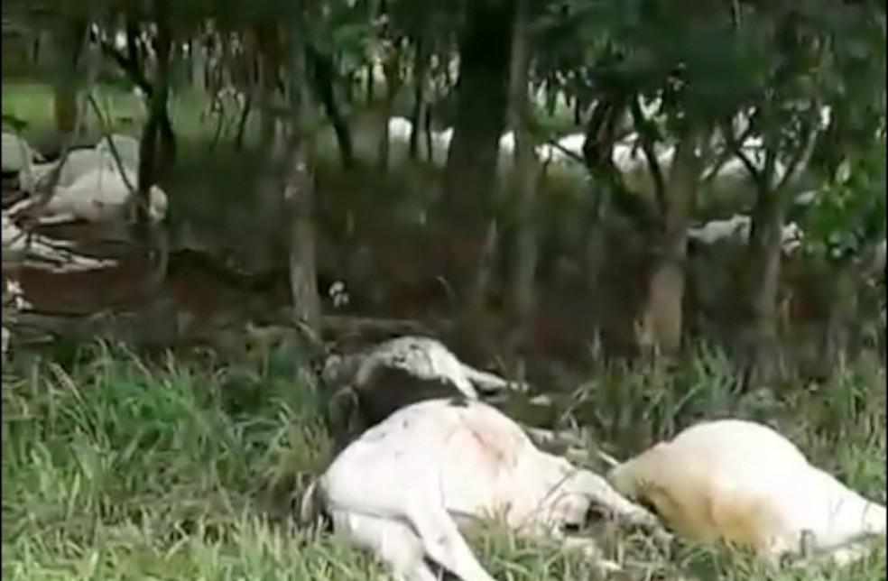 Gado morreu após raio atingir fazenda (Foto: Reprodução)