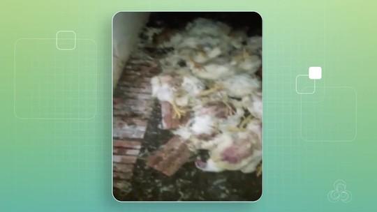 Com greve dos caminhoneiros, mais de 1 mil frangos morrem por falta de ração em Rondônia