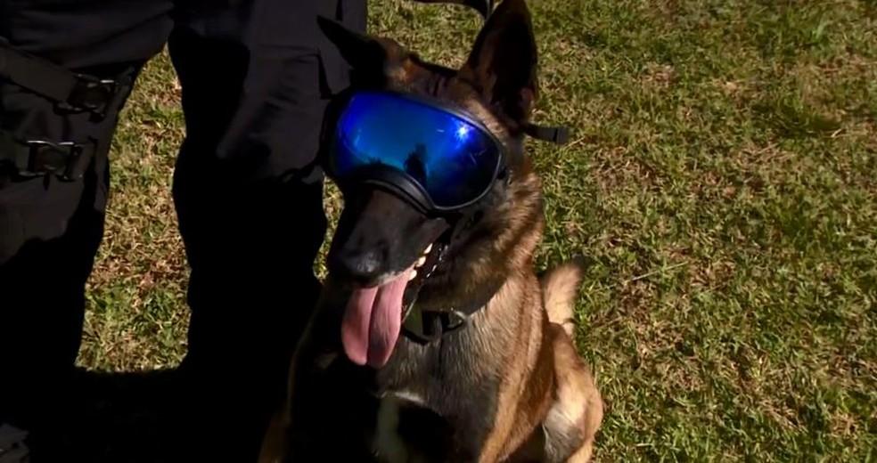 Com óculos especiais, cães são treinados para operações no sistema prisional catarinense. — Foto: Reprodução/NSC TV