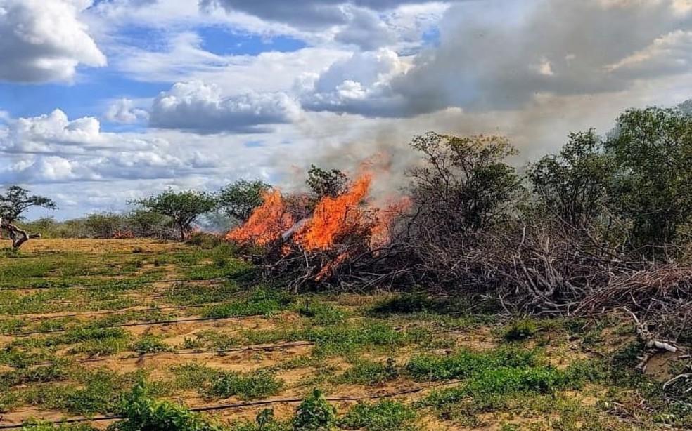 Plantação de maconha foi incinerada pela Polícia Militar — Foto: Divulgação/SSP