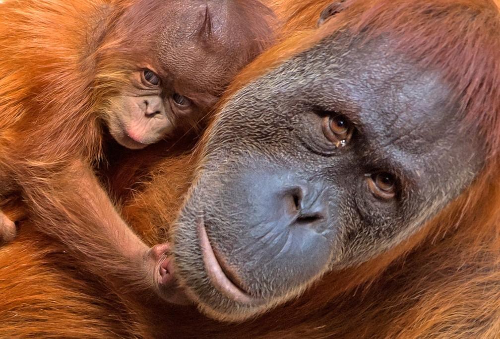 Um orangotango bebê é visto ao lado de sua mãe no zoológico de Leipzig, na Alemanha (Foto: Jens Meyer/AP)