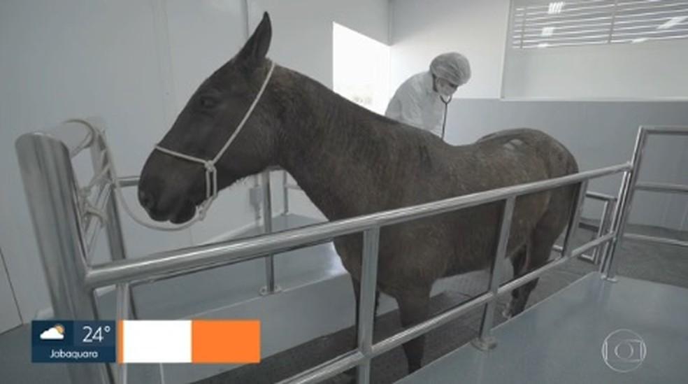 Cavalo usado pelo Instituto Butantan para os testes com plasma contra a Covid-19.  — Foto: Reprodução/TV Globo
