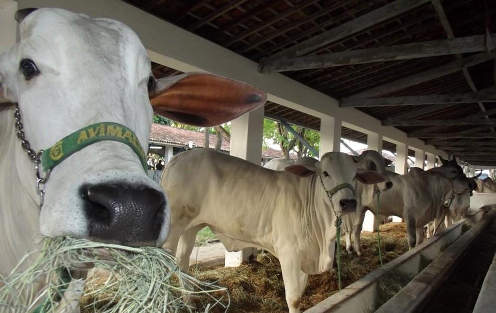 Exposição de animais é a grande atração da Festa do Boi (Foto: Klênyo Galvão/G1)